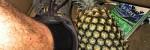 Pineapple Field Australia Thumbnail
