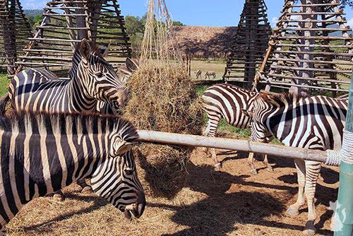 Singha Park Zebras